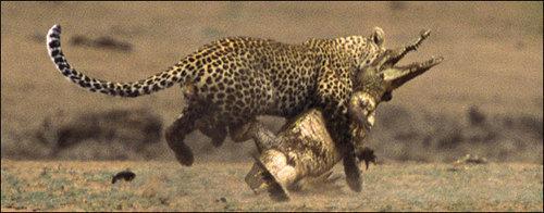 Snow Leopard: Silent Beauty at Kats Korner