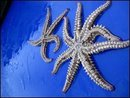 Fisherman Discovers Starfish With Eight Legs
