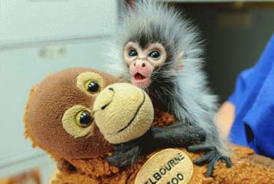 Cute Baby Spider Monkeys Cute Spider Monkeys The Infant
